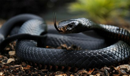 The Black Mamba Snake